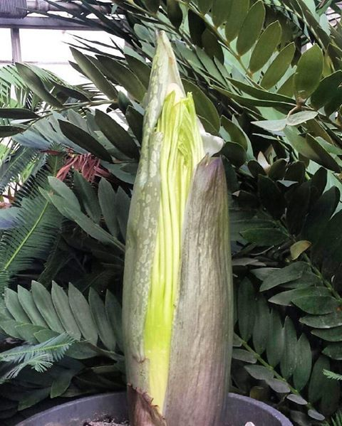 News Corpse Flower 5 Things You Probably Didn 39 T Know The Weather Network