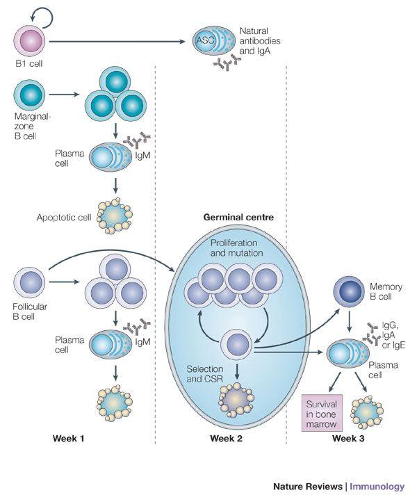 Regulation of plasma cell development science pinterest regulation of plasma cell development publicscrutiny Choice Image