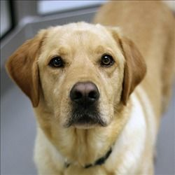 Saint Is An Adoptable Labrador Retriever Dog In Dallas Tx Primary Color Gold Weight 72 Age 3y Dog Adoption Labrador Retriever Dog Retriever Dog