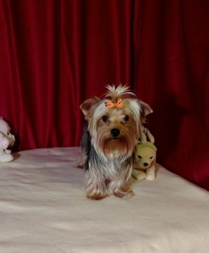 Litter Of 4 Yorkshire Terrier Puppies For Sale In Ellijay Ga Adn