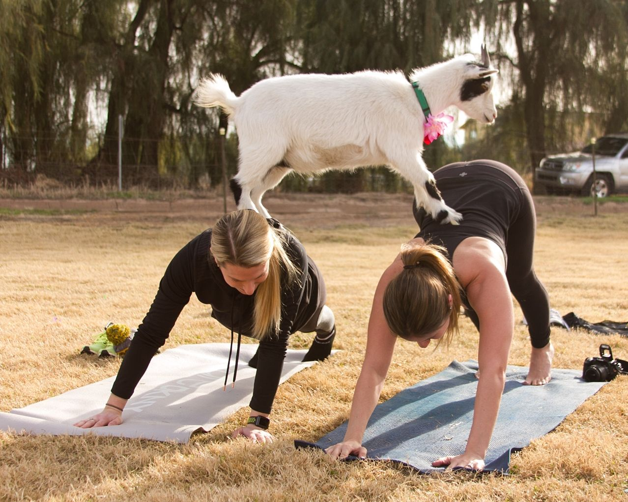 Goat yoga where barnyard meets downward dog goat yoga