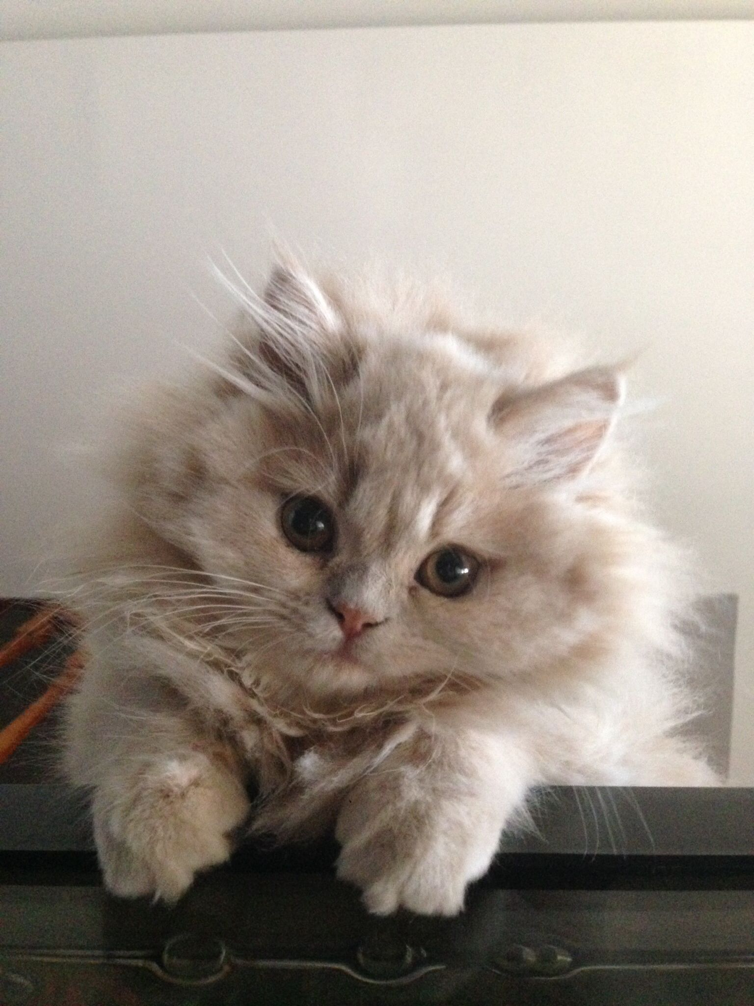 Cream Doll Face Persian Kitten Instagram Com Dollfacemadison Cute Cats Popular Cat Breeds Persian Cat Doll Face