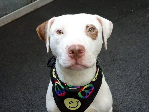 Safe Manhattan Center Mack A0975374 Male White Brown Amer
