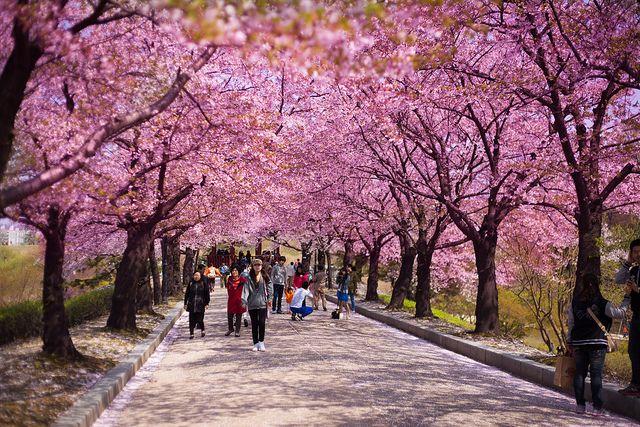 Seoul Cherry Blossoms Explored Korea Travel South Korea Korea