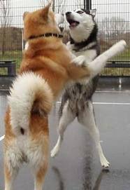 Akitasxhuskies Akita Dog Spitz Dogs Siberian Husky Dog