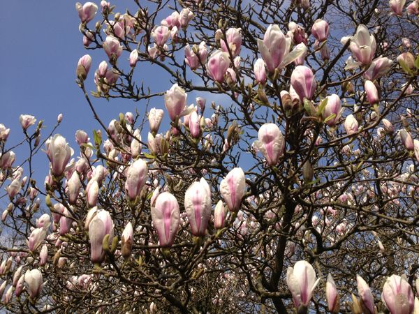 April Plant Of The Month Magnolia Tree In Full Bloom Plant Of
