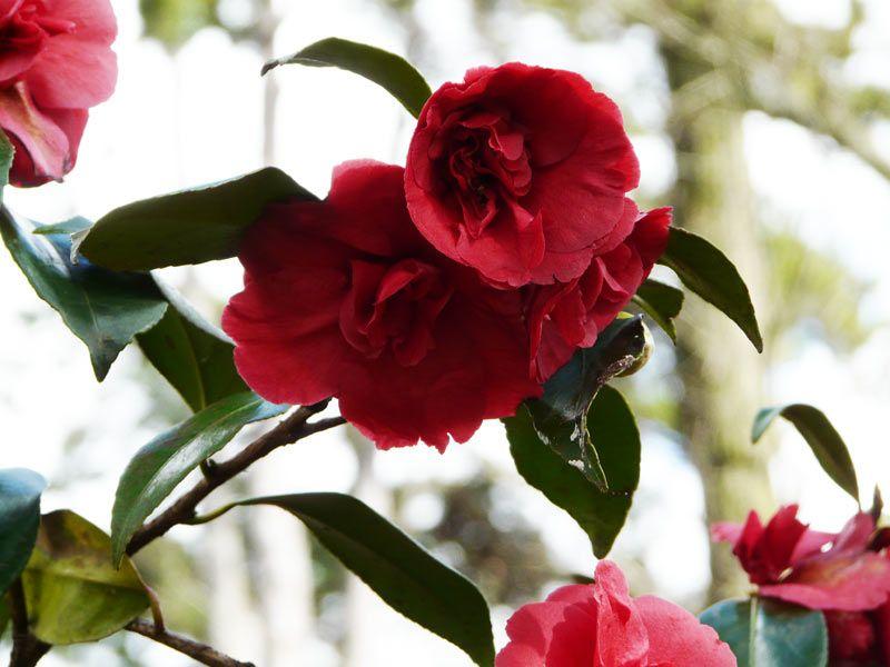 Camellia japonica general leclerc persistant 1 5 m floraison de d cembre mars sol profond - Acide citrique leclerc ...