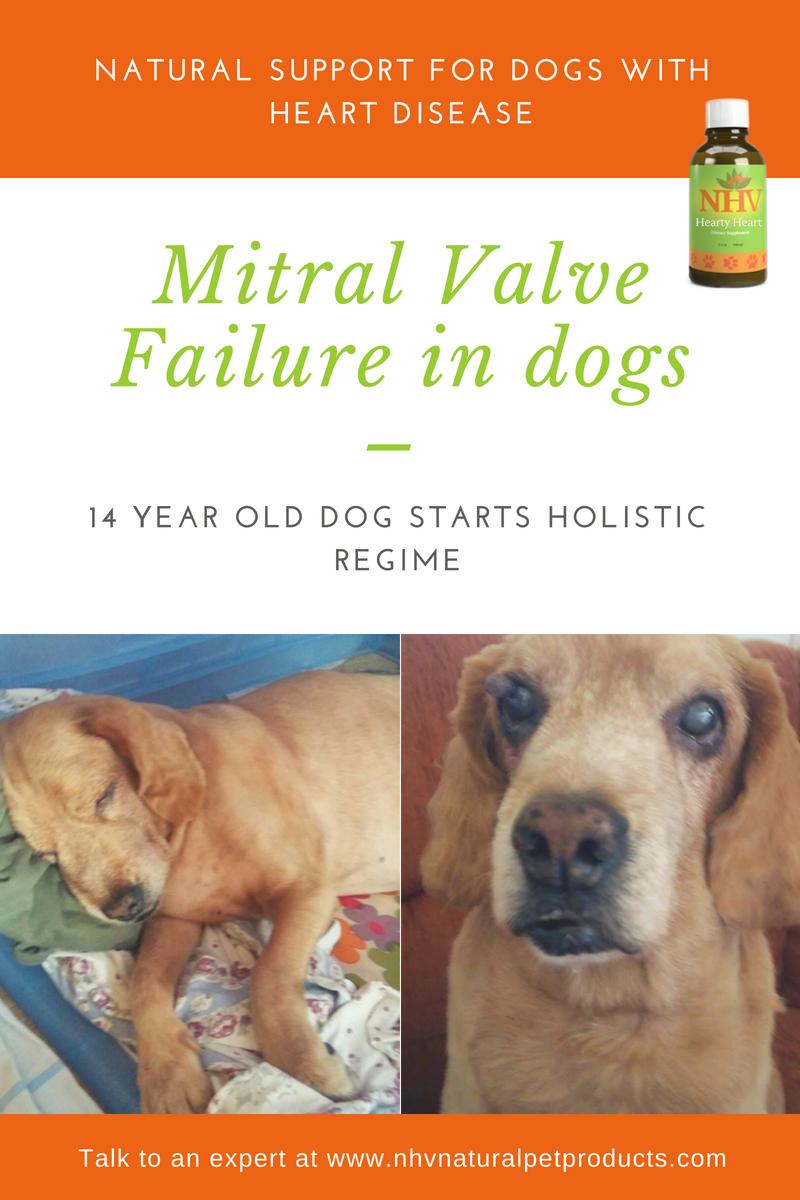 Mitral Valve Failure 14 Year Old Dog Starts Holistic Regime