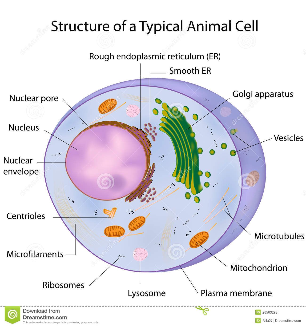 Royalty Free Stock Photos A Typical Cell Labeled Animal Cell Animal Cell Structure Animal Cell Parts