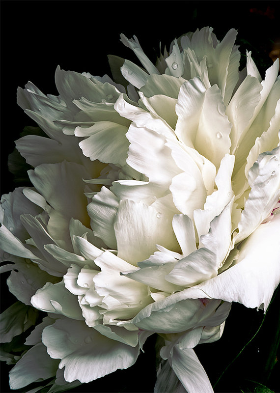 White peony on black background 013 full frame fine art flower white peony on black background 013 full frame fine art flower photography nature photograph wall art print wall decor mightylinksfo