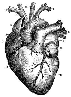 Detailed Heart Drawing : detailed, heart, drawing, Engraving, Featuring, Human, Heart., Heart, Drawing,, Illustration,, Scientific, Illustration