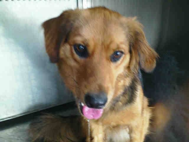This DOG - ID#A193975 Stray off hold 9/12 I am an unaltered male, brown and black Border Collie mix.  GARLAND (TEXAS)  972-205-3570, Press option 4 - To tag for your rescue, email ID number of the animal, and a description to rescue@garlandtx.gov. ***Emails need to be sent to the shelter BEFORE 7AM on the day the animal is off hold.  https://www.facebook.com/GarlandAnimalShelterVolunteerPage/photos/a.232474773562452.1073741828.232454186897844/455416567934937/?type=1&relevant_count=1
