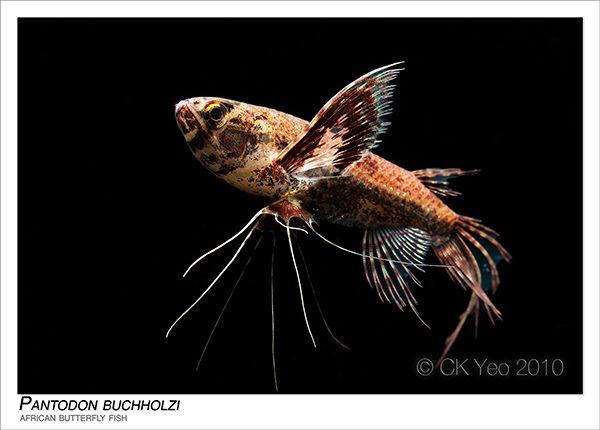 Pantodon Buchholzi African Butterfly Fish Butterfly Fish Freshwater Catfish Tropical Fish Aquarium