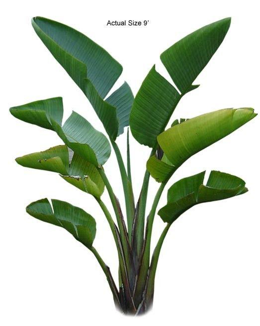 Buy Tropical Plants Online Part - 29: Bird Of Paradise Large - Strelitzia Reginae (Web) · Buy Plants OnlineHouse  ...