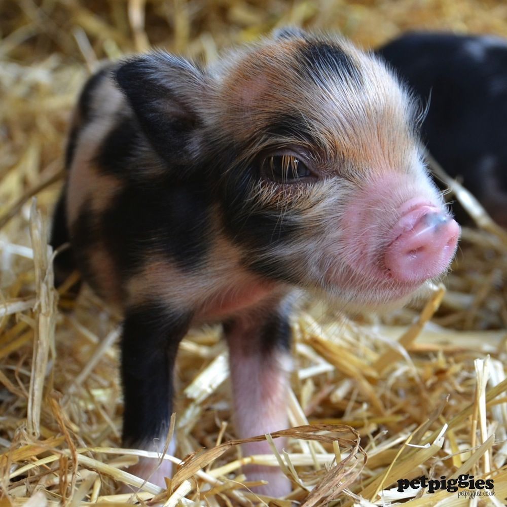 Pigs Have The Most Amazing Eyelashes Pigs Pinterest Mini Pigs