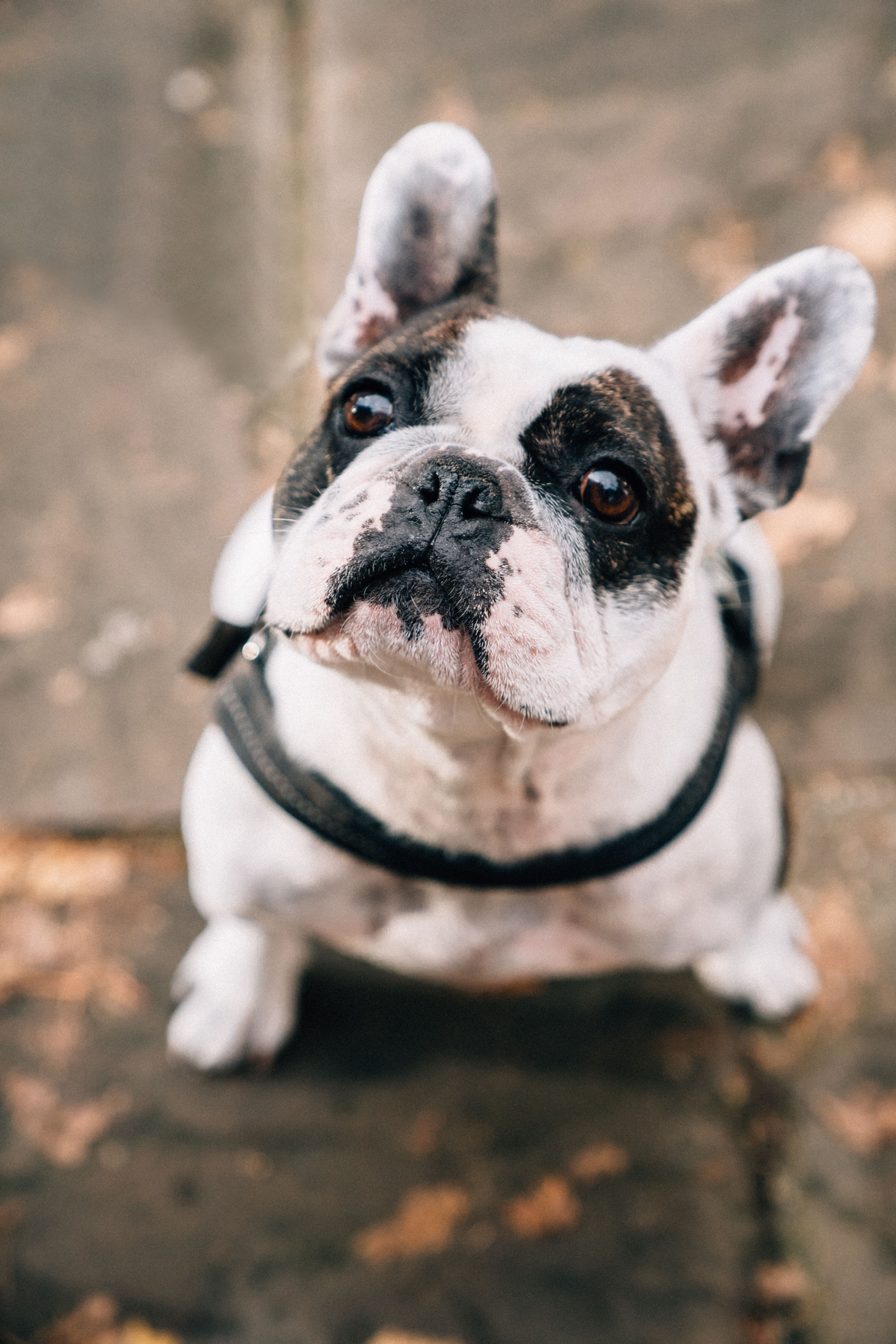 Meet Freddie The Cutest French Bulldog You Ve Ever Met Freddie Belongs To Amber Our Head Of Custome In 2020 Battersea Dogs Battersea Dogs Home Cute French Bulldog
