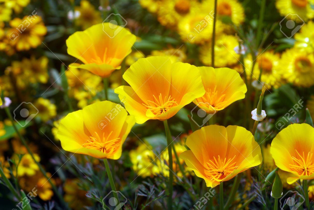 8153940 isolated shot of a yellow california poppy flower stock 8153940 isolated shot of a yellow california poppy mightylinksfo Choice Image
