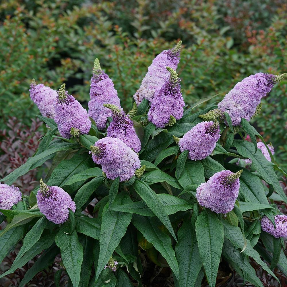Proven Winners Butterfly Bush Buddleia Barlow Flower Farm In 2020 Butterfly Bush Purple Flowers Perennials