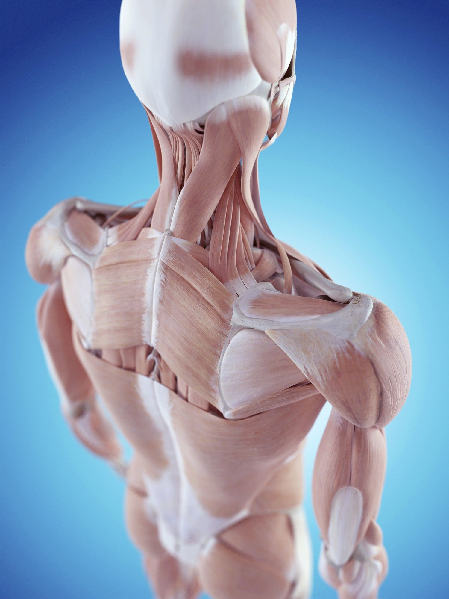 Shoulder pain and shoulder injuries related to the rotator cuff are ...