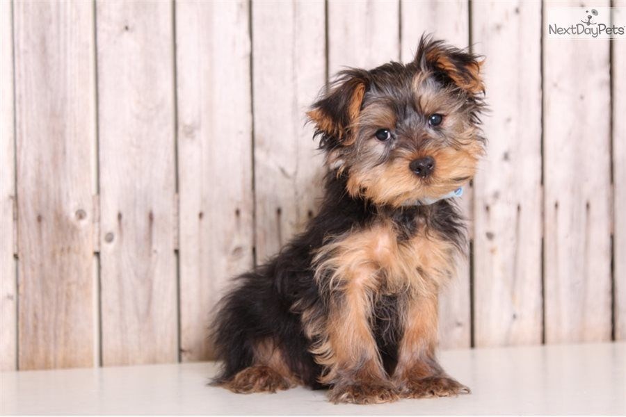 Chief Yorkshire Terrier Yorkie Puppy For Sale Near Columbus Ohio 462901b7 0911 Yorkshire Terrier Puppies Yorkshire Terrier Puppies For Sale