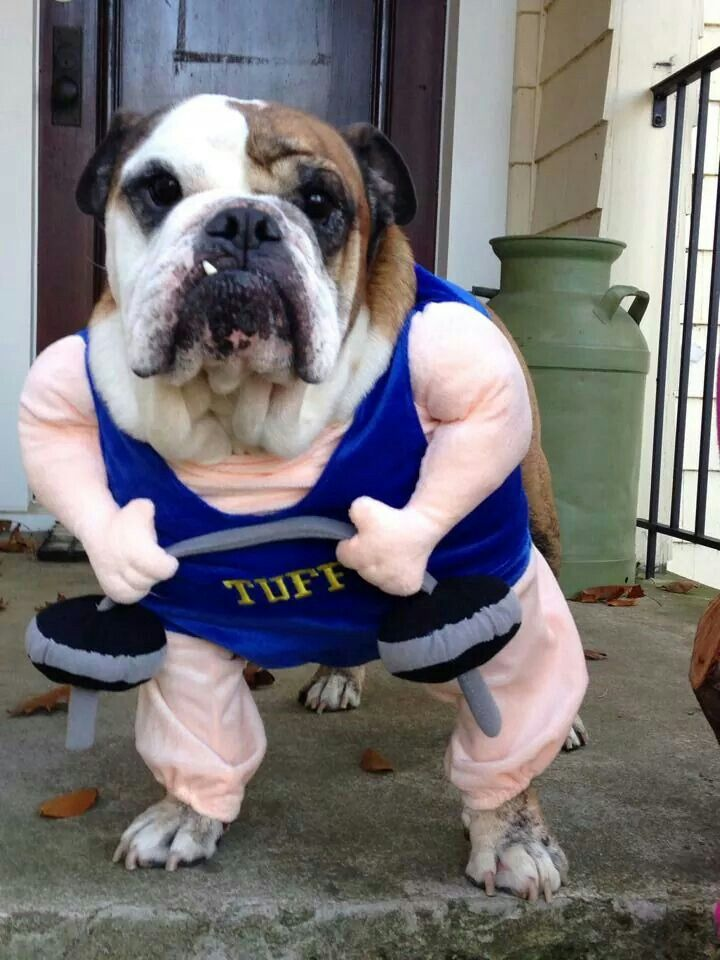 e90863f8 Bulldog Halloween Costumes | Bulldogs ♥ | Cute baby animals, Cute ...