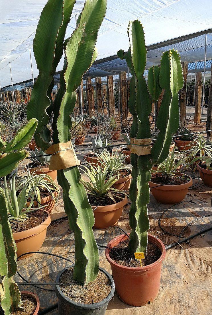 Hemithrinax ekmaniana Ultra RARE LIVE Palm Tree Thrinax ...   Name Cactus Palm Tree