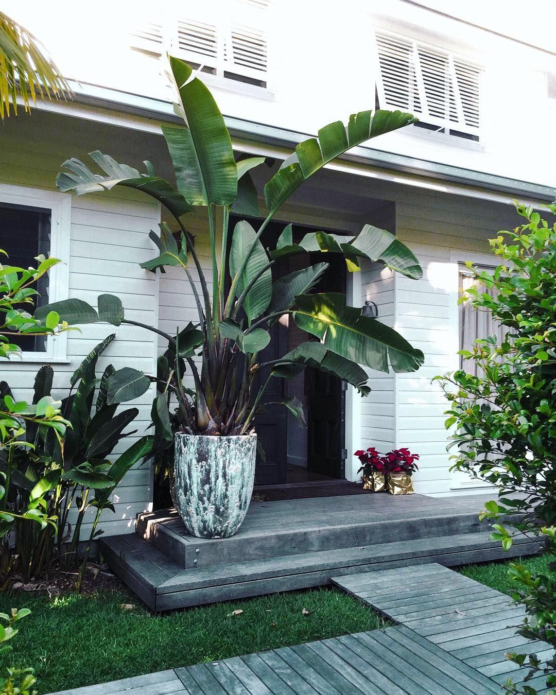 die besten 25 banana palm ideen auf pinterest bananenstauden gr ne bl tter und palmbl tter. Black Bedroom Furniture Sets. Home Design Ideas