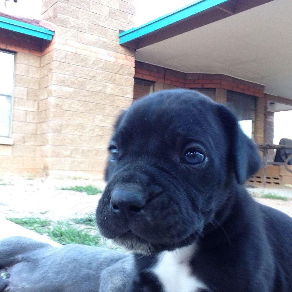 French Bulldog Puppies For Sale Ohio Craigslist