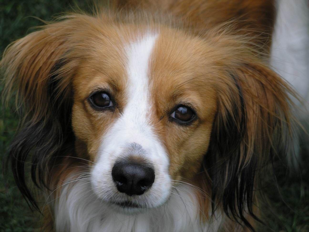Kooikerhondje (mit Bildern) Hunderassen, Hunde, Hunde rassen