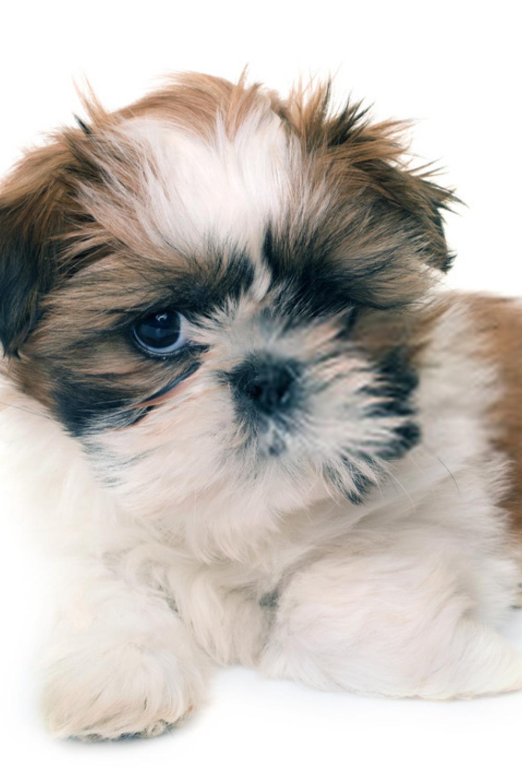 Shih Tzu Puppy Shih Tzu Dog Shih Tzu Puppy Shih Tzu Dog Puppies