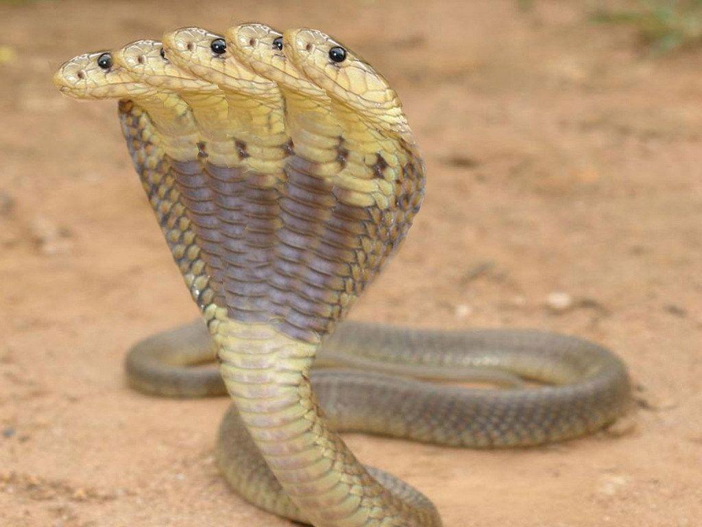 Cobra And King Snake Wallpapers 02