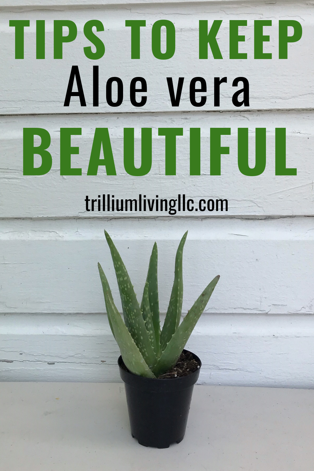 How To Keep Your Aloe vera Beautiful #plantsindoor
