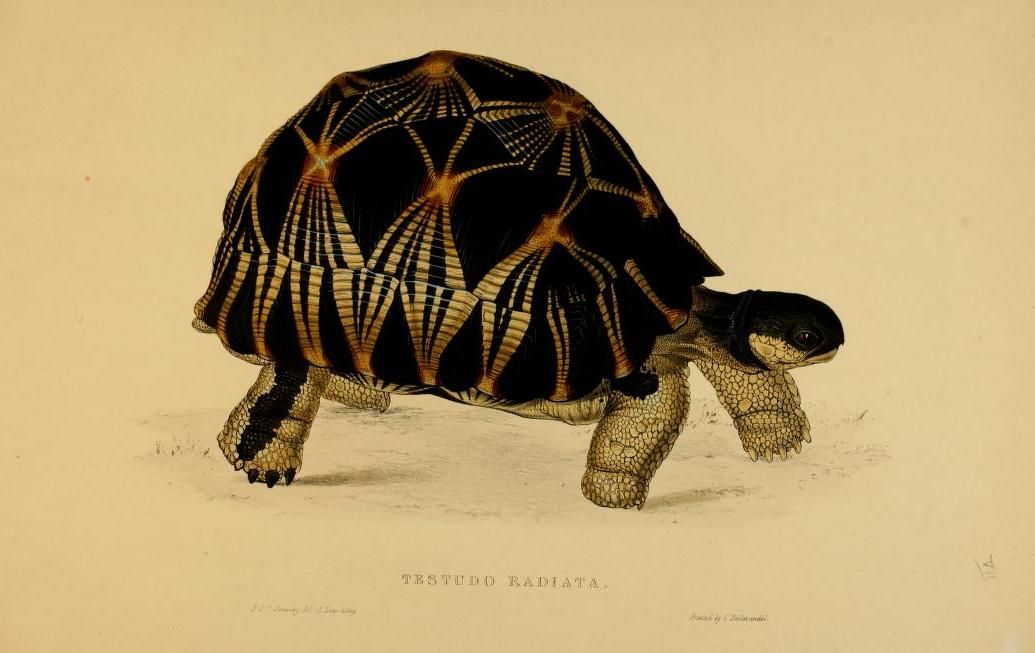 Tortoises, Terrapin, and Turtles, Drawn from Life ~ c1872   Vintage ...