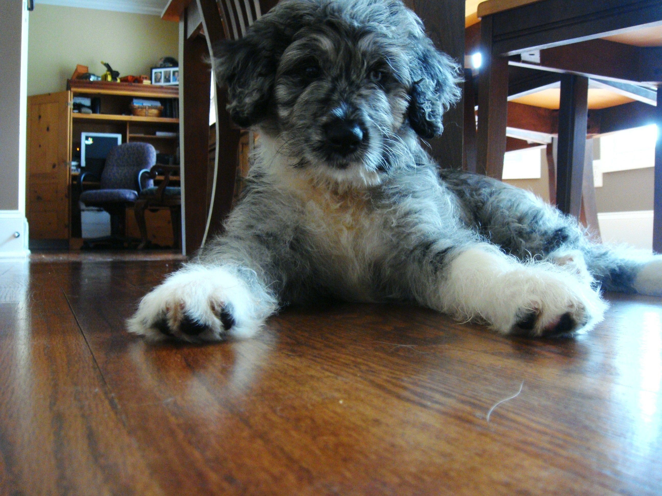 Aussiedoodle Shep When He Was A Baby Aussiedoodle Puppies For Sale Puppies
