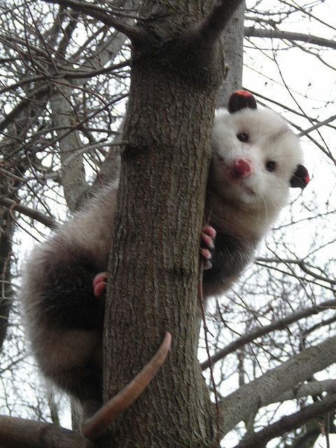 The Fat Possum of Prosperity Peeks We Heart Possums Opossum