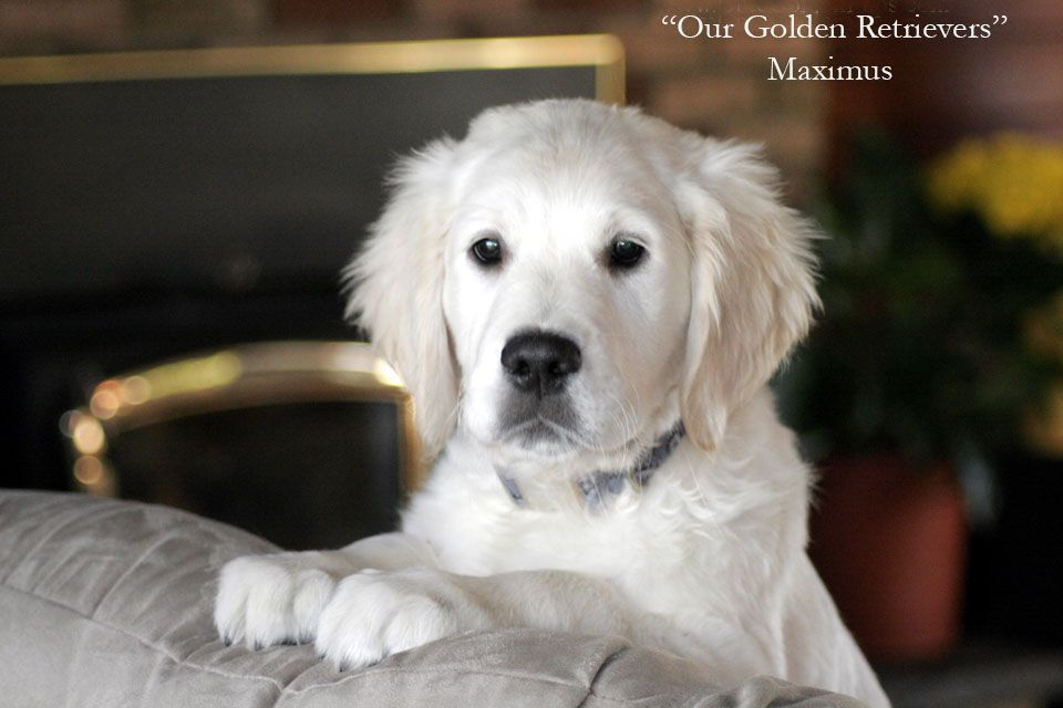 White Golden Retriever Puppies Ct Akc Certified Holistic Nj Md Ma