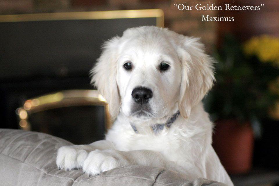 White Golden Retriever Puppies Ct Akc Certified Holistic Nj Md Ma Pa De Ny Ca Az Tx Fl Ri Or Wa English Golden Retriever White Golden Retriever Puppy Retriever