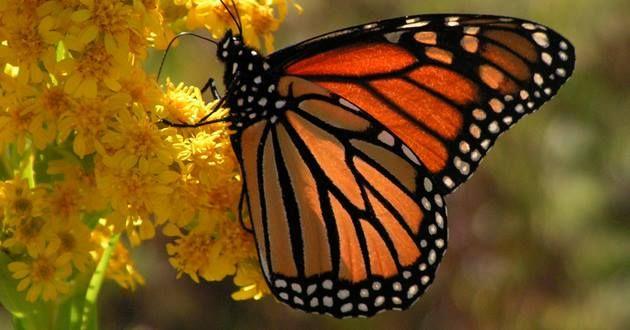 #DatoCurioso Las #Mariposas monarcas realizan cada año una migración de casi 4,000 kilómetros desde el sur de Canadá hasta los bosques de pino y oyamel en el Estado de México y Michoacán, vuelan al rededor de 120 kilómetros por casi un mes.