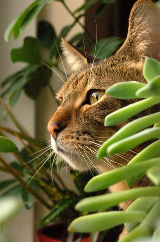 plante grasse toxique chat
