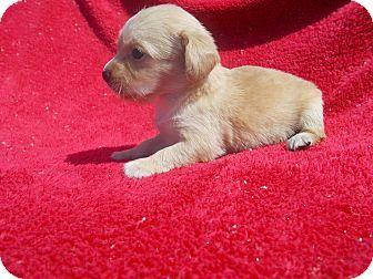 Richmond Va Chihuahua Dachshund Mix Meet Chiweenie E A Puppy