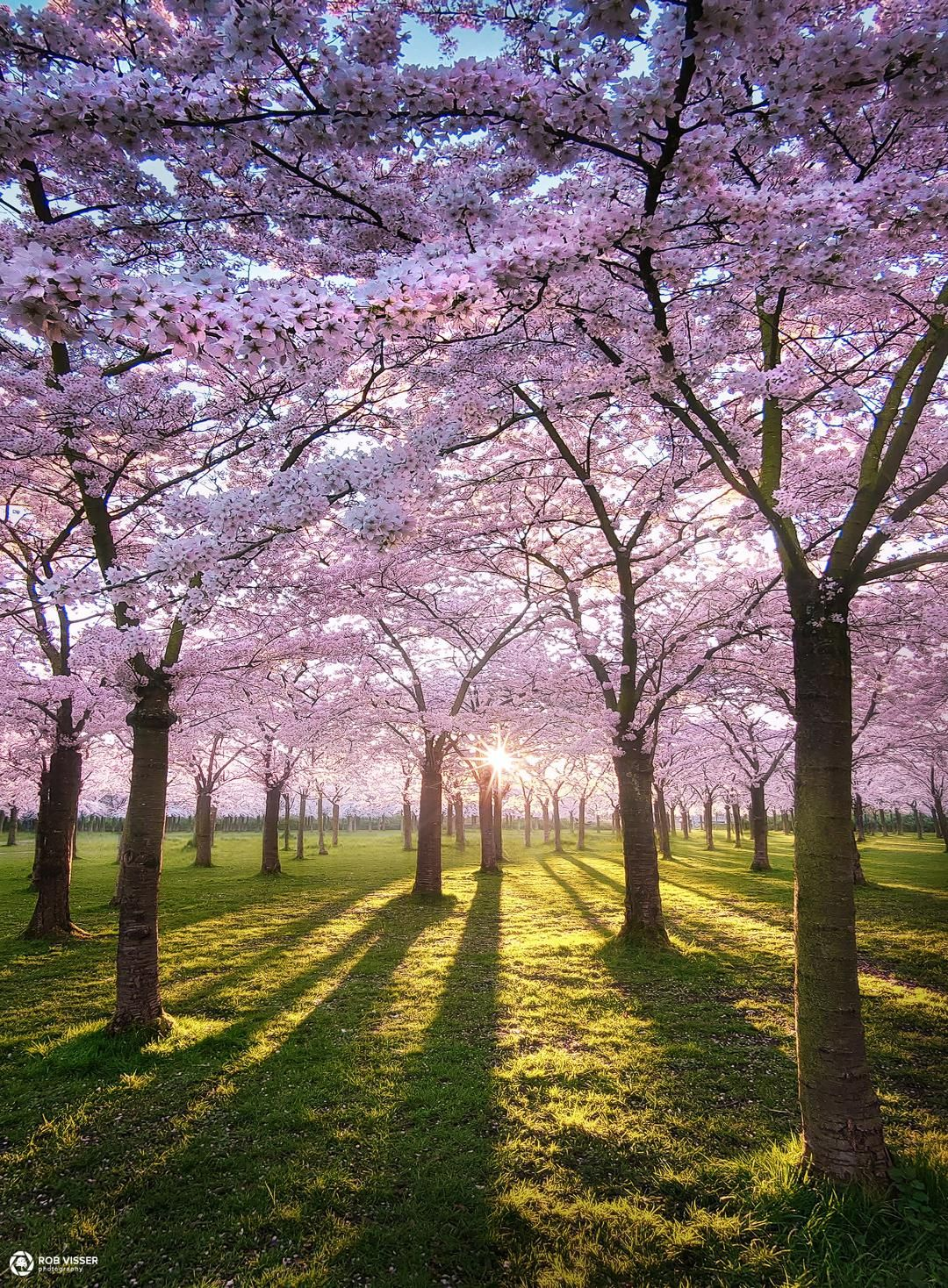 Cherry Blossom Park Amsterdam The Netherlands 1080x1468 Oc Nature Photography Landscape Pict In 2021 Beautiful Landscape Photography Spring Scenery Blossom Trees