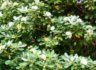 Arbustos perennes el azarero jardin garden plants y for Arboles perennes de crecimiento rapido
