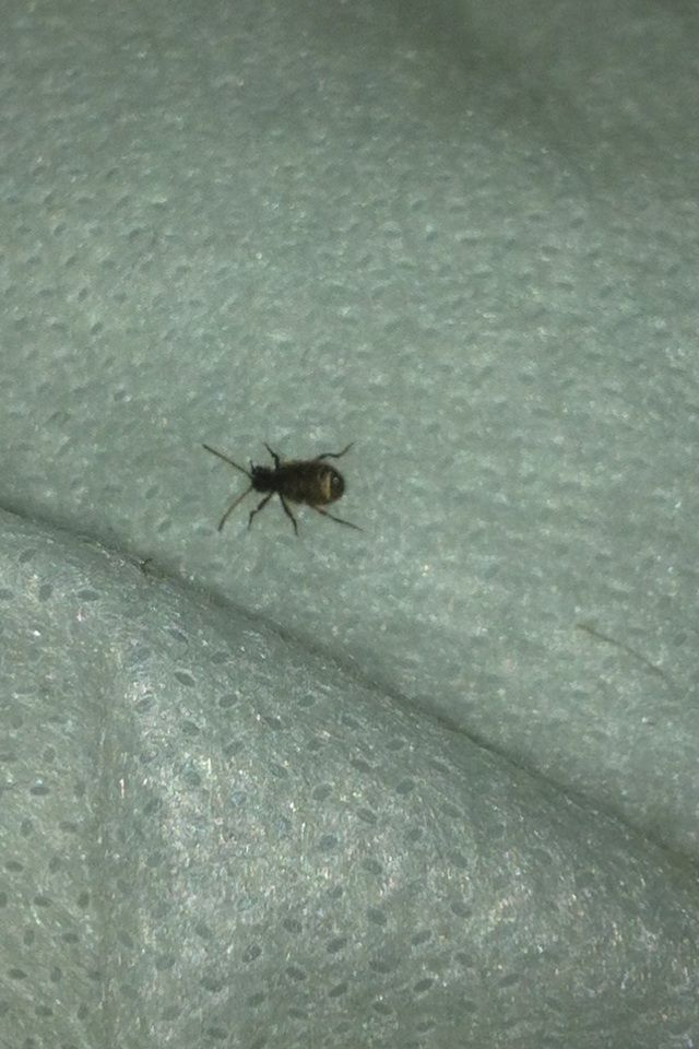 How To Get Rid Of Carpet Beetles Carpet Beetle Spray Carpet Bugs Bedroom Carpet
