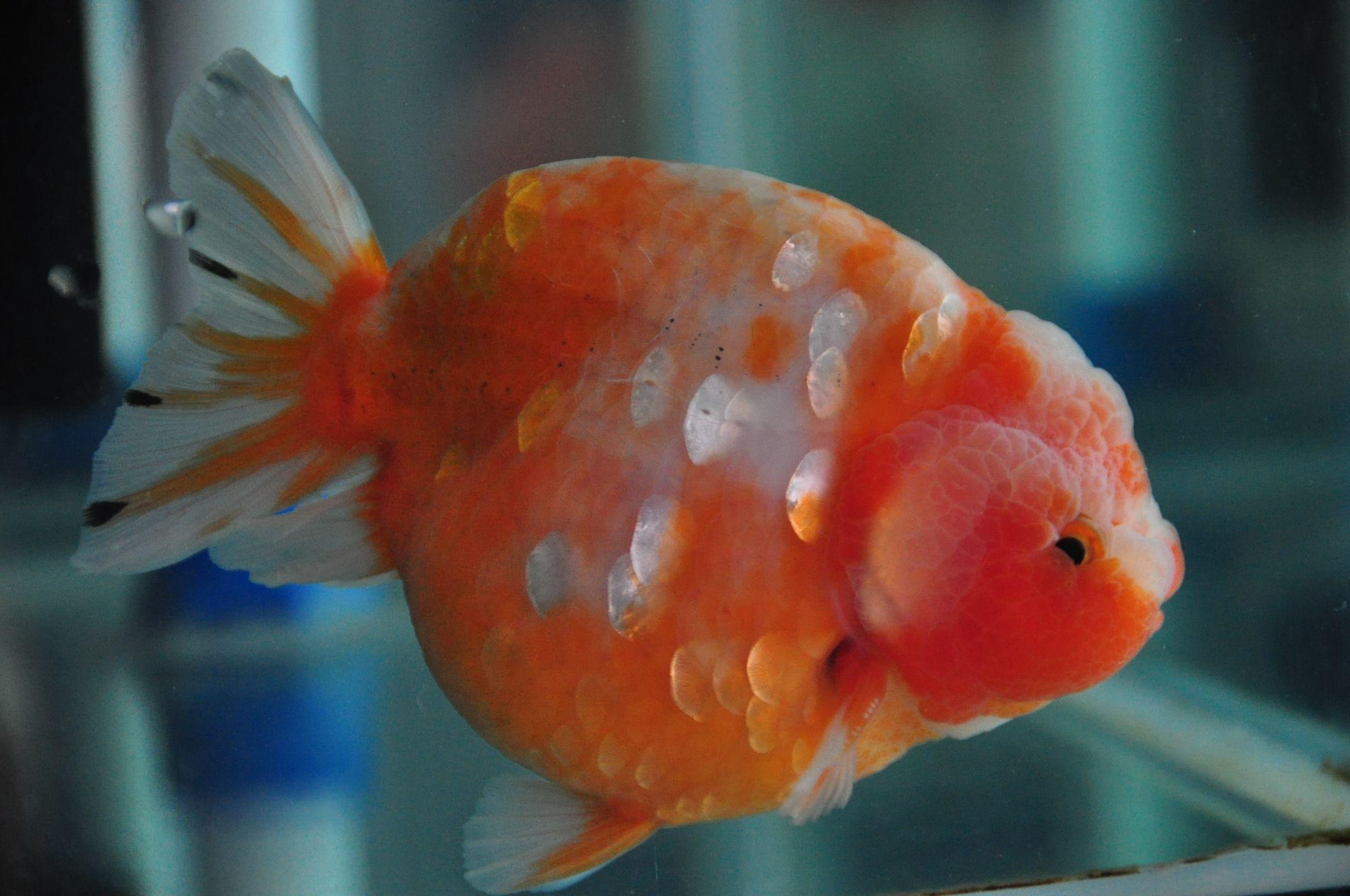 Matte scale orange and white Ranchu. my Oranda Boba Fish has this ...