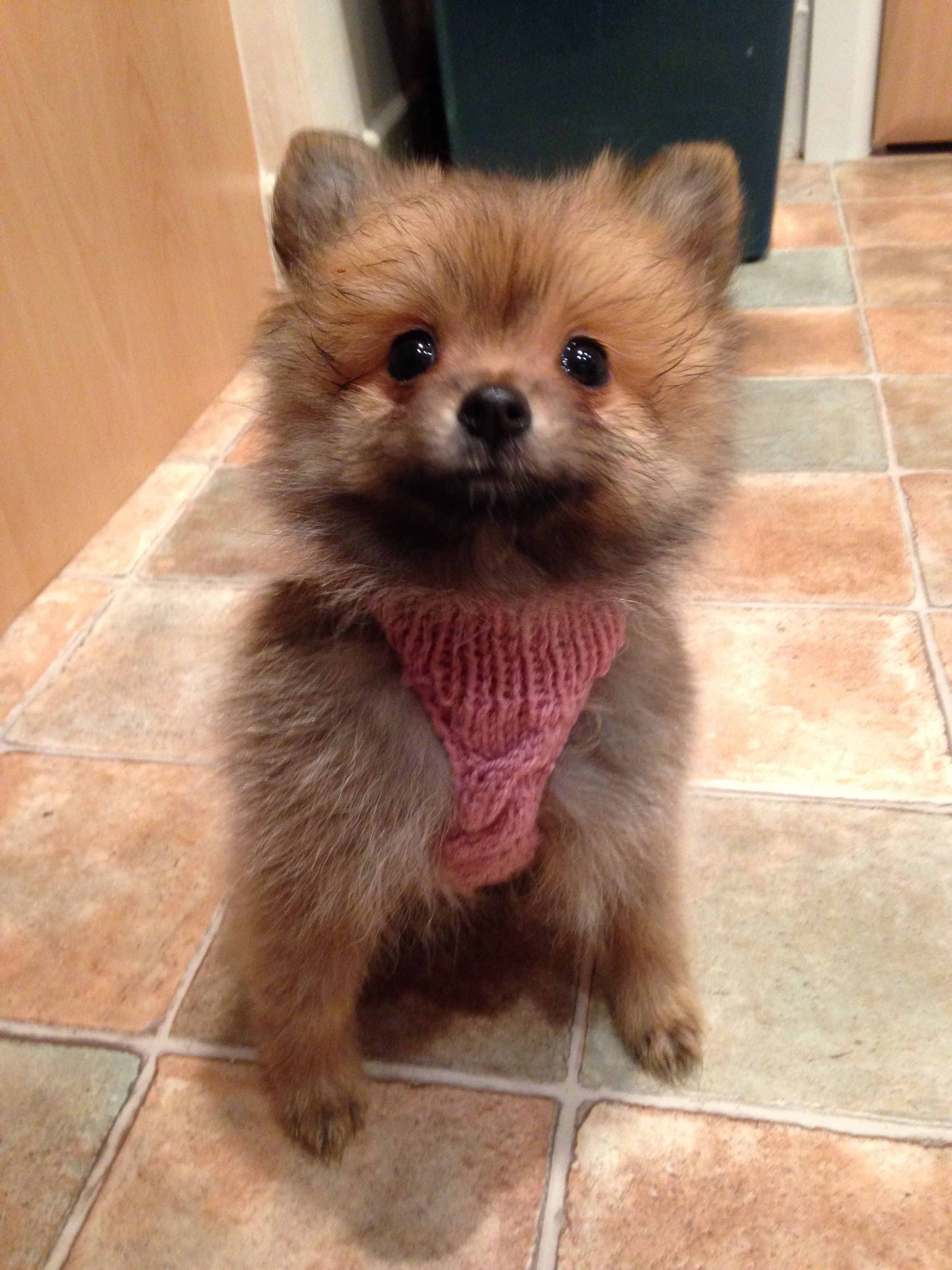 Pomeranian Puppy knitwear Pomeranian Pomeranian puppy