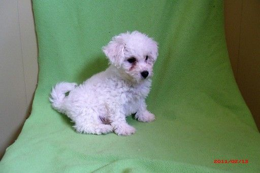 Bichon Frise puppy for sale in PATERSON, NJ  ADN-20538 on