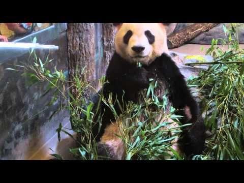 Panda (Da Mao) At The Toronto Zoo - YouTube