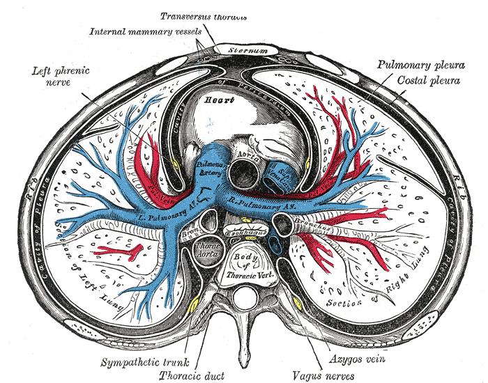 Illustración de la (Anatomía de Gray) que representa una sección ...