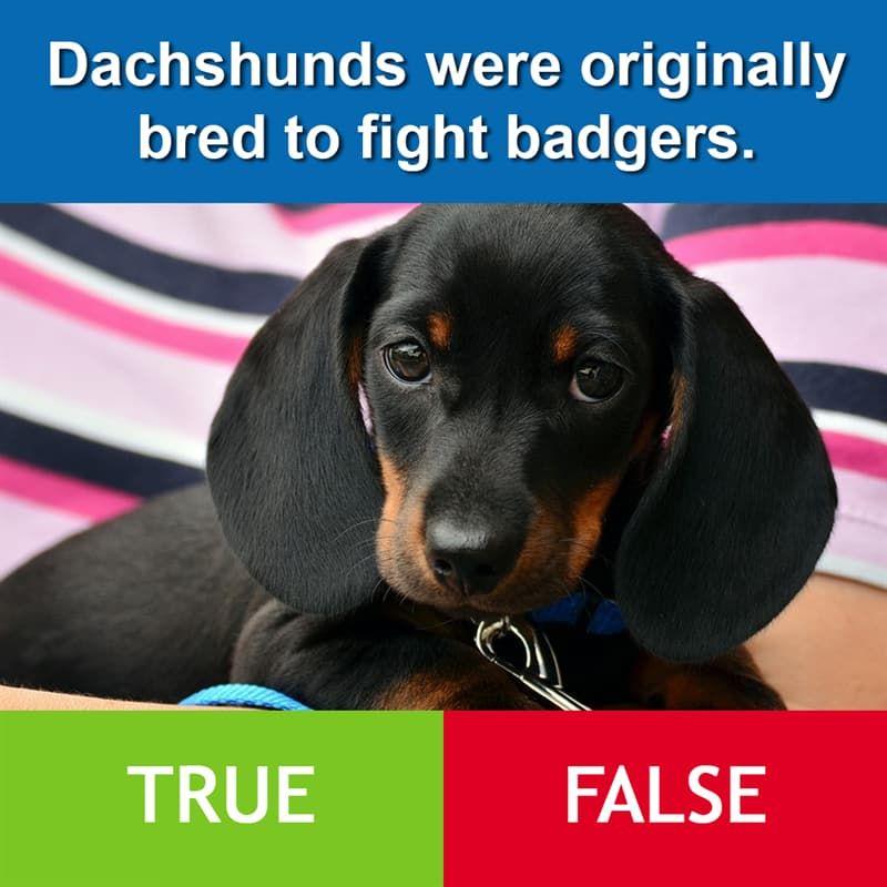 True Or False Dachshunds Were Originally Bred To Fight Badgers