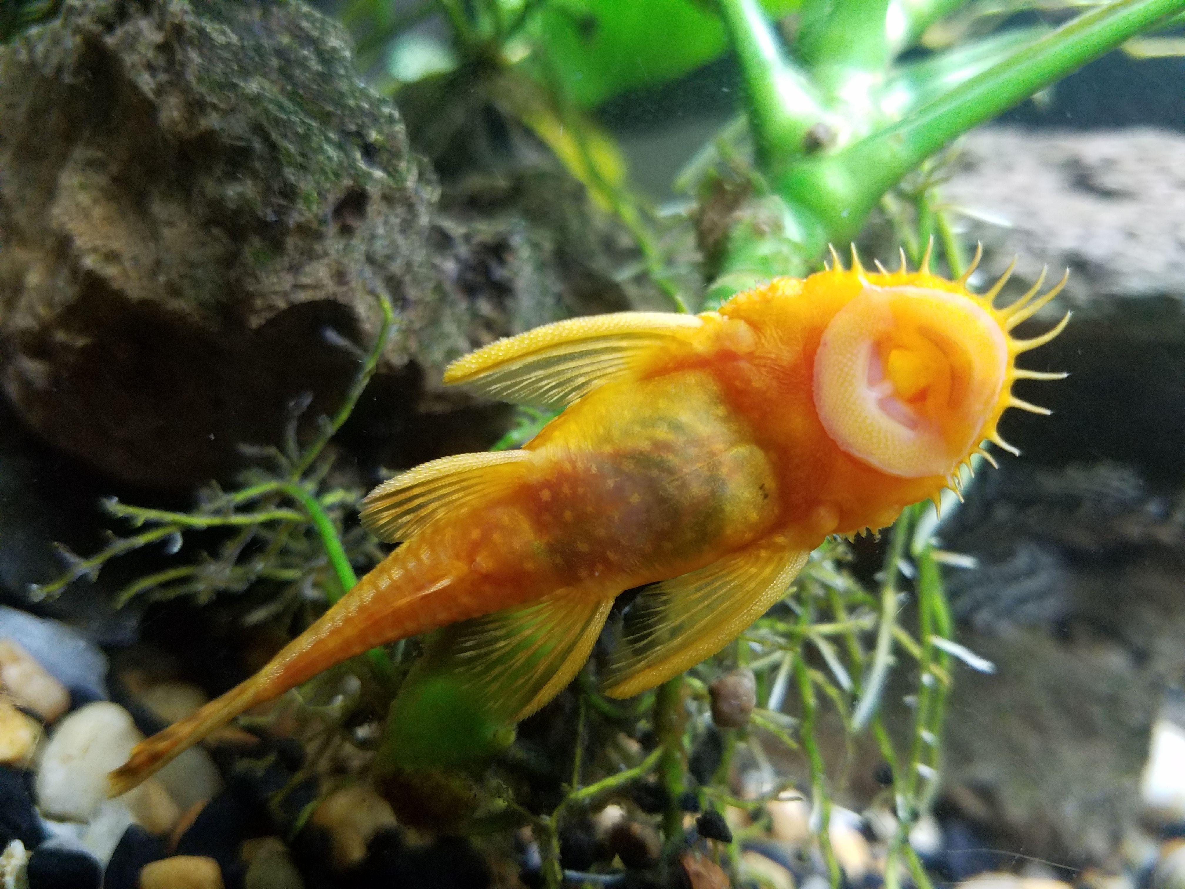My Albino Bristlenose Plecos Are Breeding Freshwater Aquarium Fish Tropical Fish Fish Pet